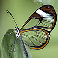 Butterfly 005 by Ingrid Smith-Johnsen