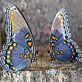 Butterfly 007 by Ingrid Smith-Johnsen