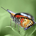 Butterfly 008 by Ingrid Smith-Johnsen