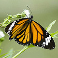 Butterfly 009 by Ingrid Smith-Johnsen