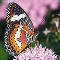 Butterfly 012 by Ingrid Smith-Johnsen