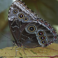 Butterfly 015 by Ingrid Smith-Johnsen