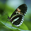 Butterfly 026 by Ingrid Smith-Johnsen