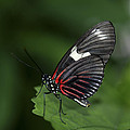 Butterfly 027 by Ingrid Smith-Johnsen