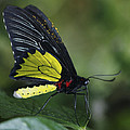 Butterfly 029 by Ingrid Smith-Johnsen