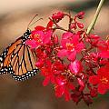Butterfly 1 by Leticia Latocki