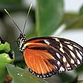 Key West Butterfly 2 by Bob Slitzan