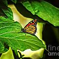 Butterfly 4 by Rich Priest