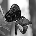 Butterfly 4 by Rob Hans