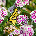 Butterfly And Blooms - Spring Flowers And Tiger Swallowtail Butterfly. by Jamie Pham
