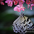 Butterfly And Blossoms by Bianca Nadeau