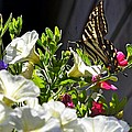 Swallowtail Butterfly On White Petunia Flower by Lena Photo Art