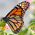 Butterfly At Work by Dennis Dugan