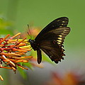 Butterfly Away by Steve Griffin