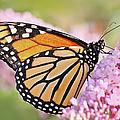 Butterfly Beauty-monarch II  by Regina Geoghan