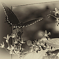Butterfly Black 06 In Heirloom Finish by Thomas Woolworth