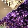 Butterfly Bush Butterfly by Judith Butler
