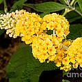 Butterfly Bush Flower by Millard H. Sharp