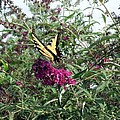 Butterfly Bush by Lisa Wormell