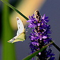 Butterfly - Cabbage White by Travis Truelove