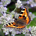 10088 Small Tortoiseshell Butterfly by Colin Hunt