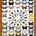 Butterfly Collection by Thomas Woolworth
