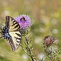 Butterfly by Daniel Sheldon