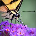 Butterfly by Dave Wangsness