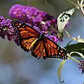 Butterfly by Deborah Tannenbaum