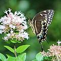 Butterfly Dining  by Cynthia Guinn