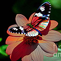 Butterfly Dont Fly Away by Marvin Blaine