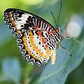 Butterfly Dreams by Juli Scalzi