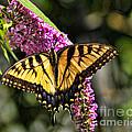 Butterfly - Eastern Tiger Swallowtail by Paul Ward