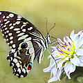 Butterfly Food At Dahlia Flower by Ronel Broderick