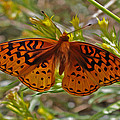 Butterfly by Frank Lee Hawkins