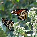 Butterfly Garden - Monarchs 01 by Pamela Critchlow