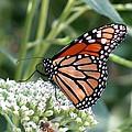 Butterfly Garden - Monarchs 07 by Pamela Critchlow