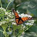 Butterfly Garden - Monarchs 09 by Pamela Critchlow