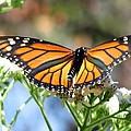 Butterfly Garden - Monarchs 13 by Pamela Critchlow