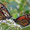 Butterfly Garden - Monarchs 17 by Pamela Critchlow