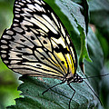 Butterfly - Green Leaf by Mark Valentine