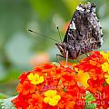 Butterfly Hanging Out On Wildflowers by Nikki Vig