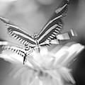 Butterfly In Motion #1961bw by Olivia Novak