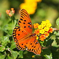 Butterfly In The Glades - Gulf Fritillary by Christiane Schulze Art And Photography