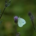 Butterfly In White 2 by John Feiser