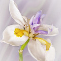 Butterfly Iris by David and Carol Kelly