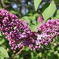 Butterfly Lilac by Mavis Reid Nugent