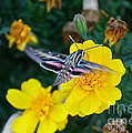 Butterfly Moth by Susan Herber