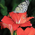 Butterfly On A Lily by Tracy Winter