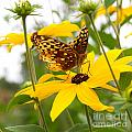 Butterfly On Blackeyed Susan by Nikki Vig